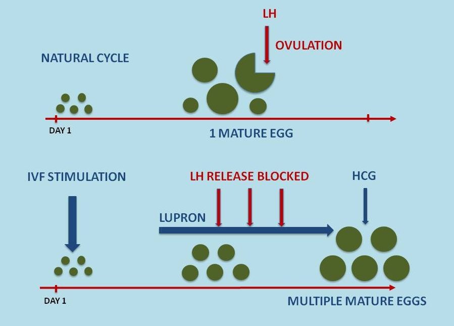 What hormone stimulates an egg to mature