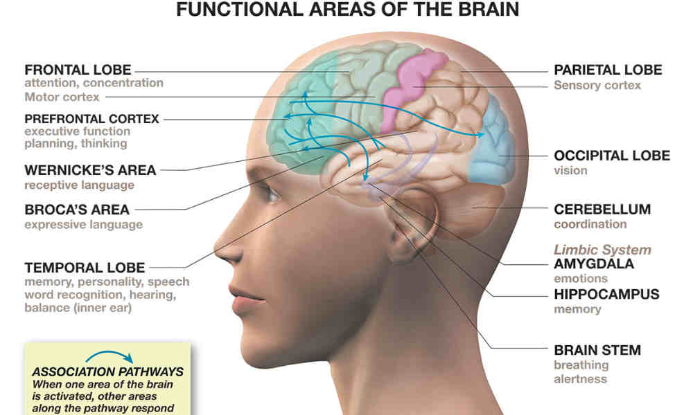 major functions of the brain The brain, the seat of higher mental functions such as consciousness, memory, planning, and voluntary actions, also controls lower body functions such as the maintenance of respiration, heart rate, blood pressure, and digestion.